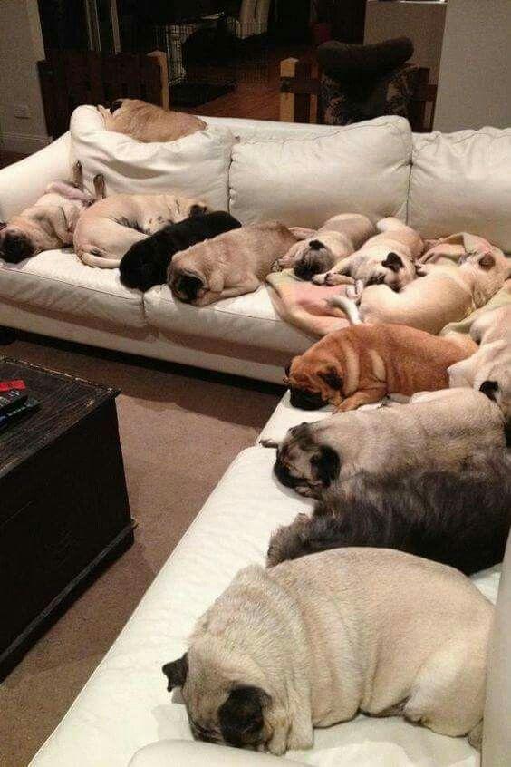 Pugs Sleep Over The Couch Sofa Sleepypugs Sleepingpugs
