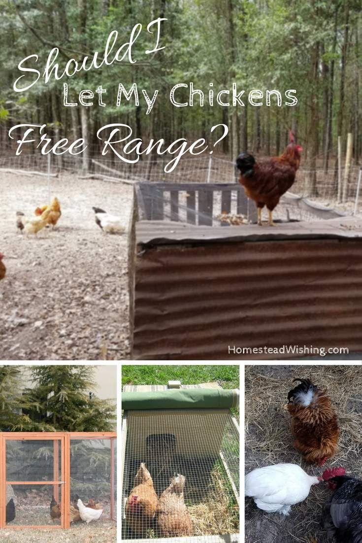 Should I Let my Chickens Free Range? - Free Range VS ...