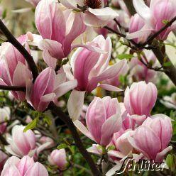 tulpenmagnolie der klassiker magnolia soulangiana mein garten my garden pinterest. Black Bedroom Furniture Sets. Home Design Ideas