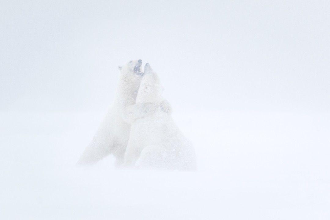 Polar Bears Fighting in Blizzard| Artic National Wildlife Refuge Alaska | Photo by Ian Plant  #animals #animalphotogrpahy #photography #aniamallife #outdoorphotography #landscape #stormchaser #wanderlust #dreamscape #openmyworld