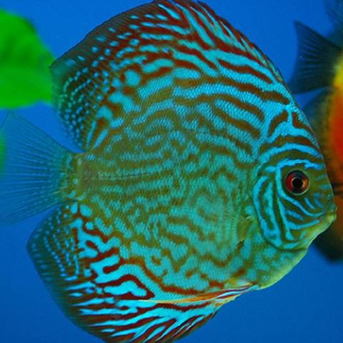 Discus Fishdiscount Discus Fish Discus Fish For Sale Fish