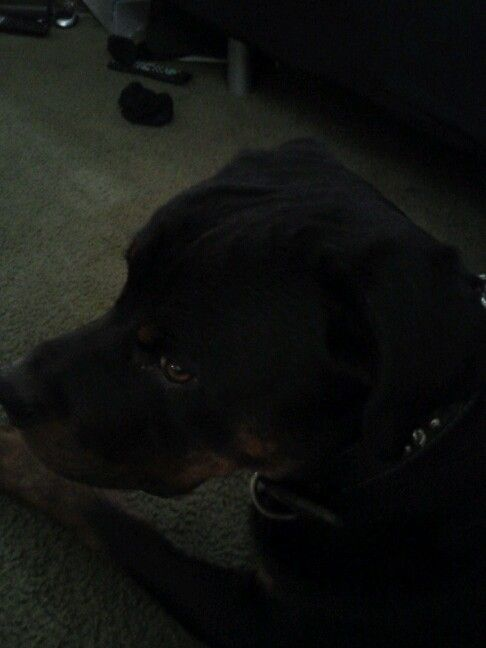 Rottweiler, Oden, biggest baby Ever!
