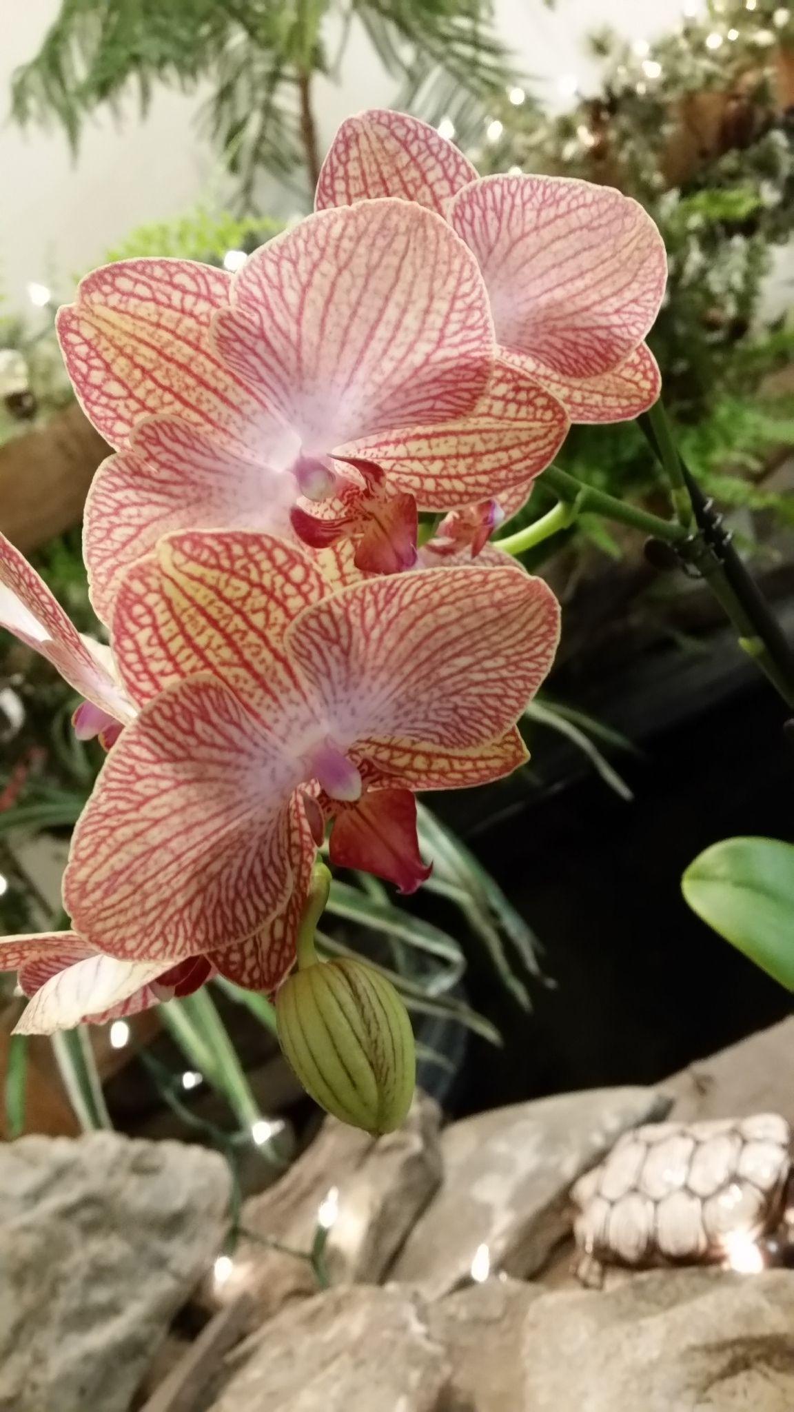 Peach orchids