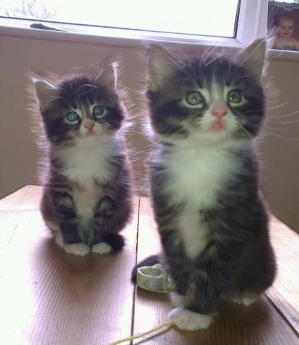 Burmese Cross Cute Fluffy Kittens Cute Fluffy Kittens Cute