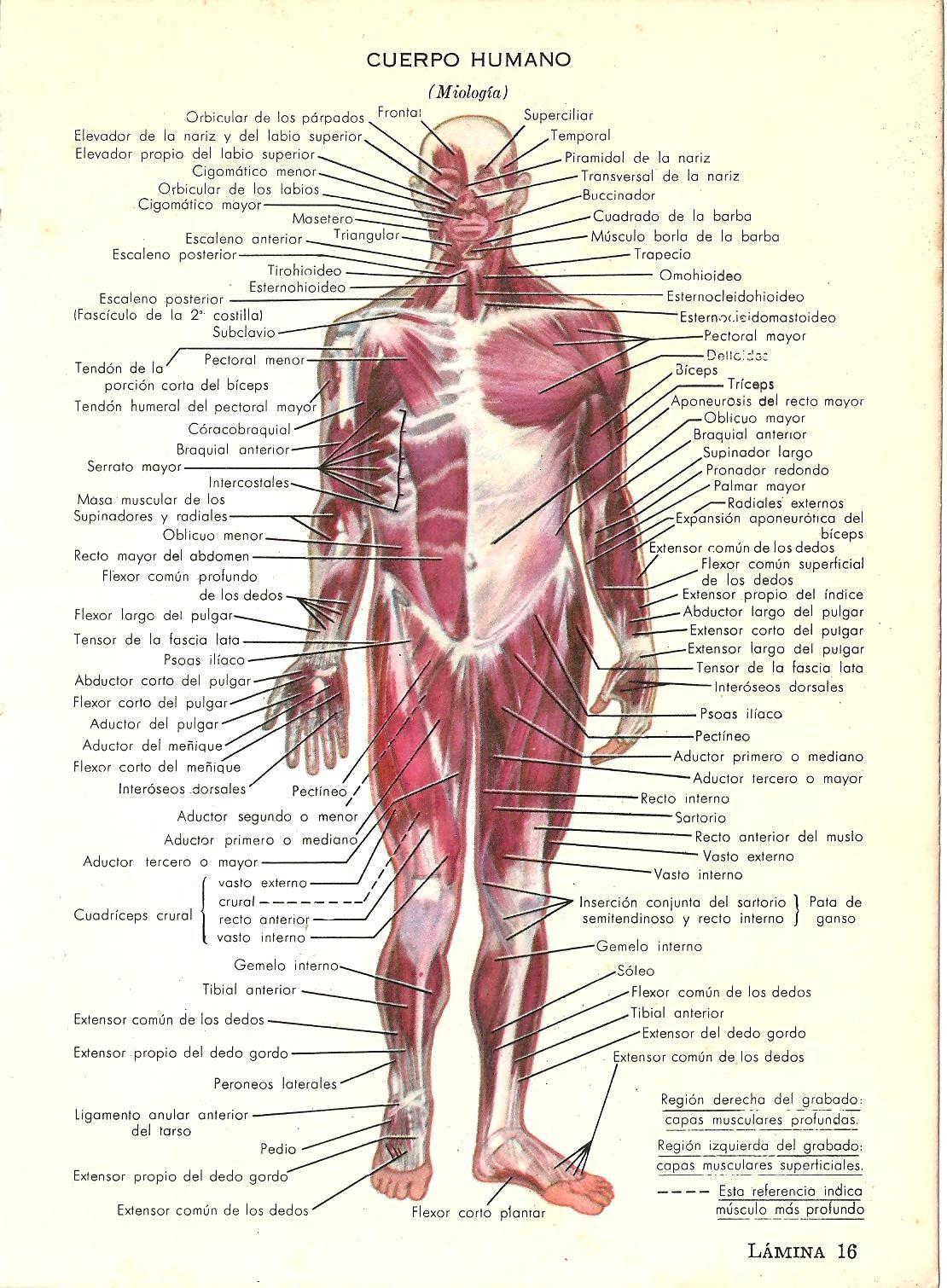 Cuerpo humano. Miología. Lámina extraída de Nuevo Diccionario ...