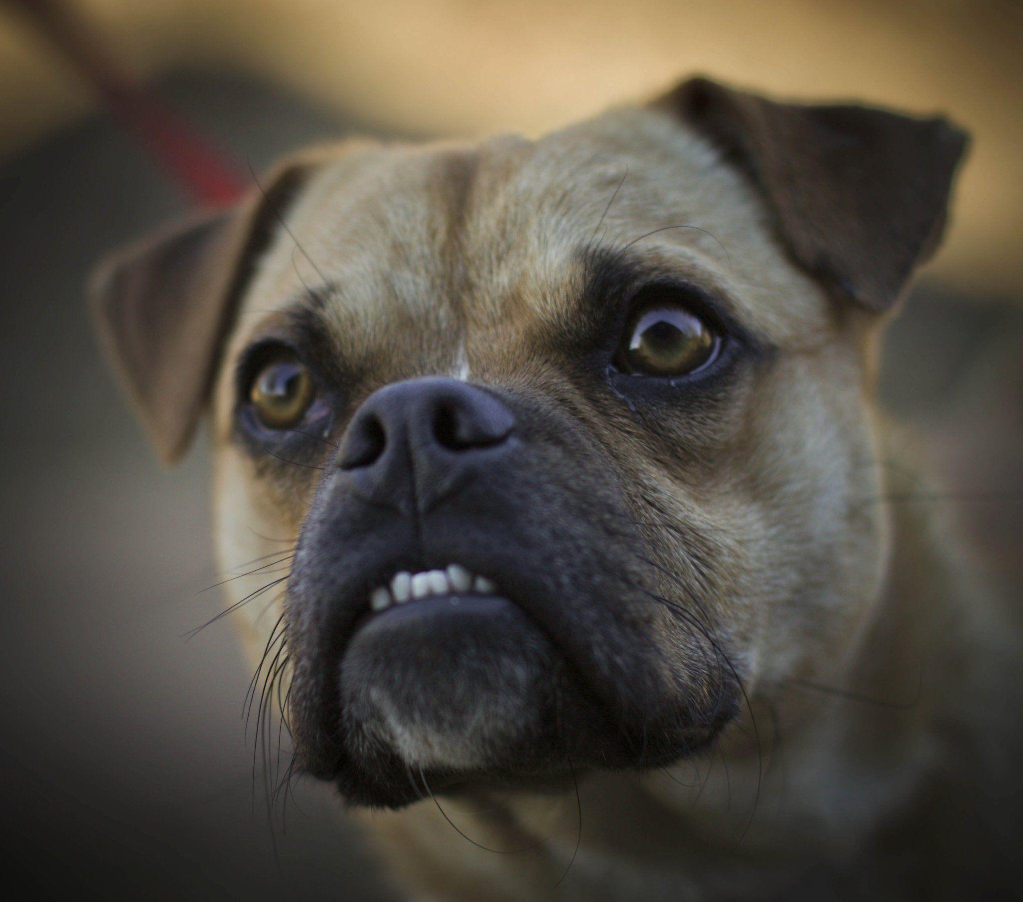 Beware Puggle With An Underbite Love Underbites On Dogs Three