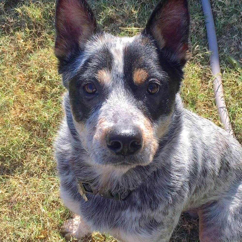For Adoption Texas Cattle Dog Rescue Dogs Rescue Dogs Cattle Dog