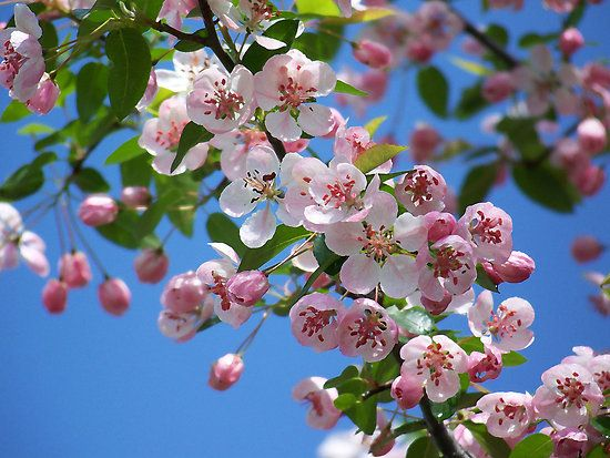 Duffs Crab Apple Tree Fine Art Print By Peggywright Redbubble Crabapple Tree Apple Tree Blossoms Crab Apple