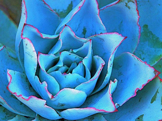 Echeveria Subrigida Fire And Ice Echeveria Cacti And Succulents Trees To Plant