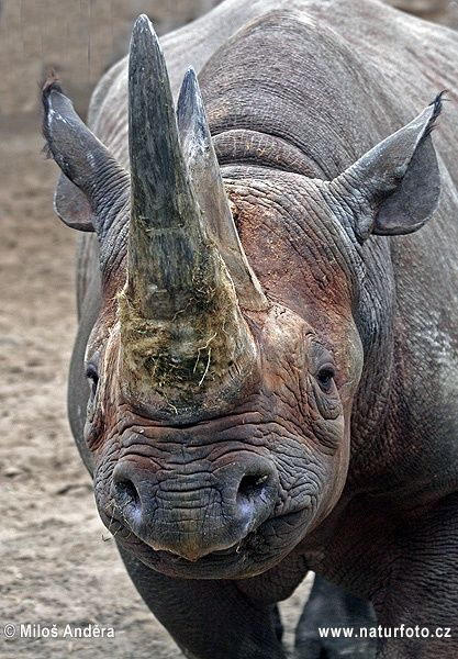 There are four subspecies of black rhinos: South-central black rhino, South-western black rhino, East African black rhino & the West African Black Rhino. In the 1960s 70,000 black rhinos were in Africa, in 1981 numbers dropped to 15,000, 12 years later, around 2000 remain. Cause of decline is poaching & demand for its horn. The horn is used as dagger handles & worth over $20,000 in the black market. It is a symbol of wealth in many countries. In Asia is it a valuable source of medicine.