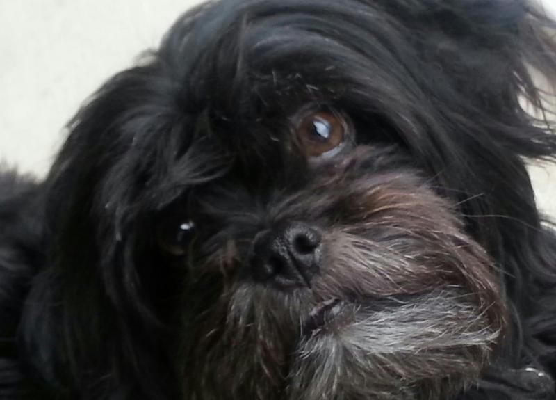 Black Maltese Shih Tzu Images Amp Pictures Becuo With Images