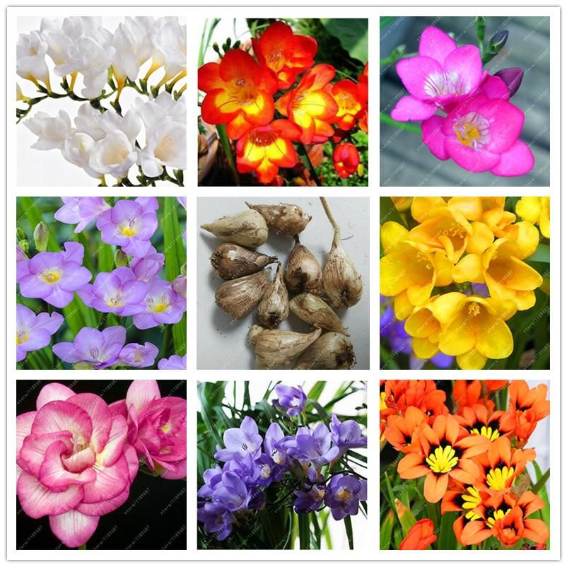 Visit To Buy True Freesia Bulbs Flower Freesia Bonsai Flower Bulbs Indoor Pot Flowers Orchids Freesia Rhizome Diy Home Bulb Flowers Flower Pots Bonsai Flower