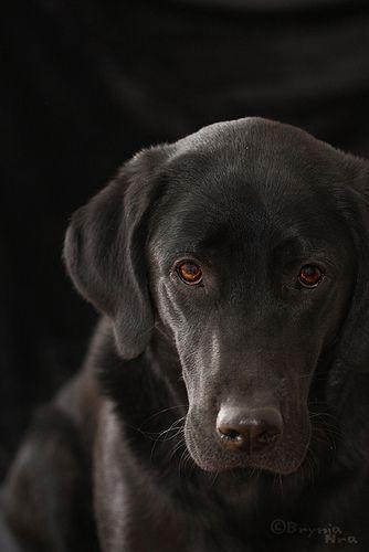 Black On Black With Images Labrador Retriever Black Labrador Labrador Retriever Puppies