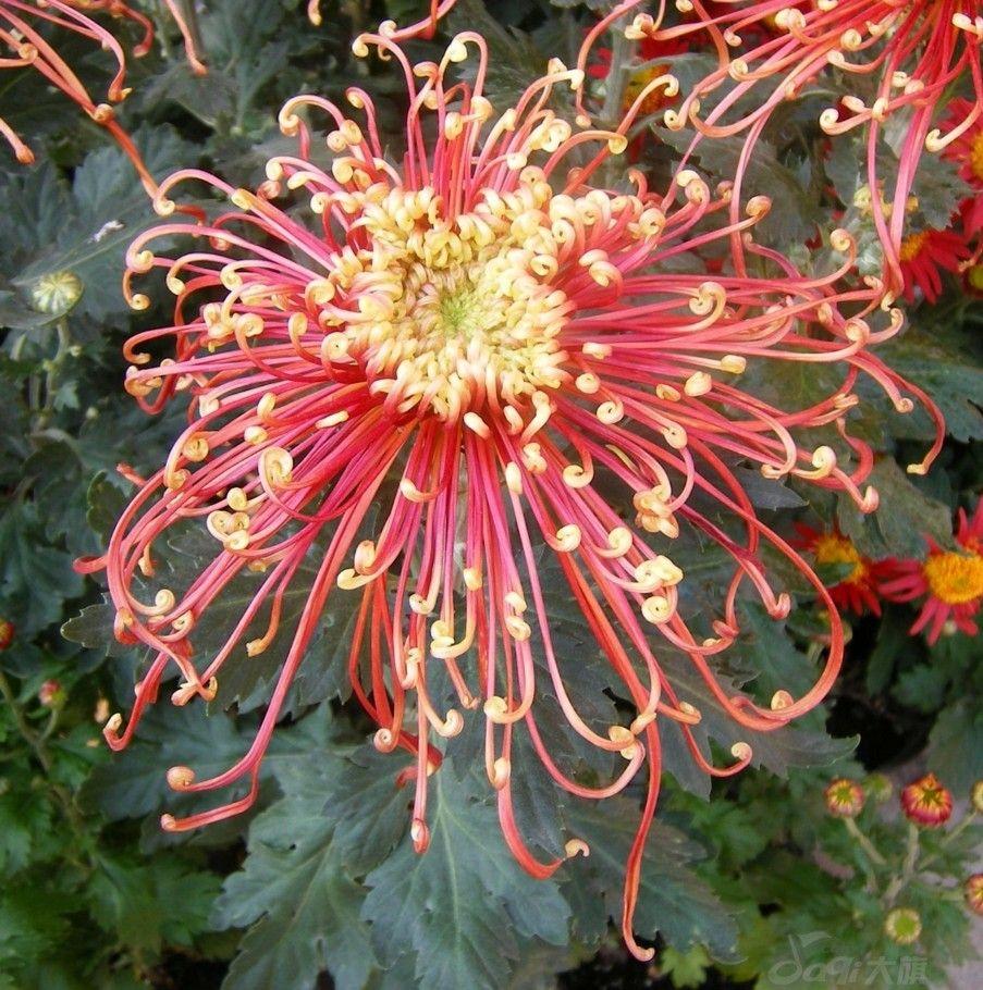 Spider Chrysanthemum Flowers Pinterest