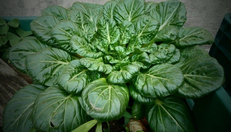 Get the Healthy Benefits of Spinach by Growing It Yourself