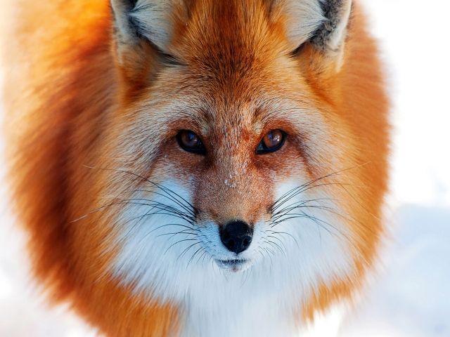 Mother Fox Baby HD desktop wallpaper : Widescreen : High ...