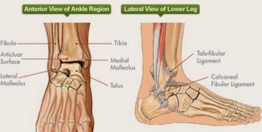 Ankle Major Bones Grad School Pinterest