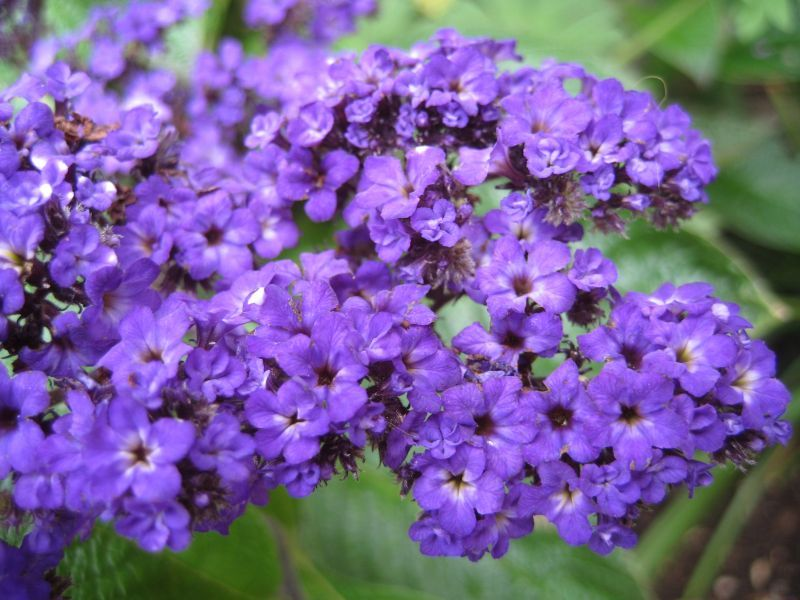 """Heliotrope / 'Cherry Pie' Plant (so named because of it's scent of vanilla and cherries). Prefers full sun and warmth, (probably too delicate to be a perennial in anything other than warmer climes). Group together for maximum scent. Good patio plant. 16"""" high x 18"""" spread."""