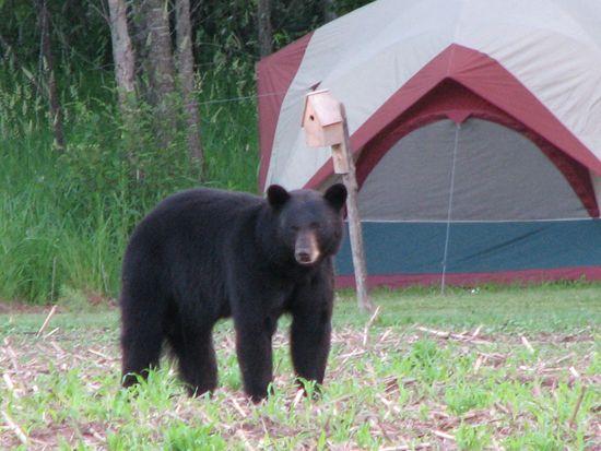 bear tent c&ing danger & bear tent camping danger | Fun flicks/ Quotes | Pinterest | Tents ...