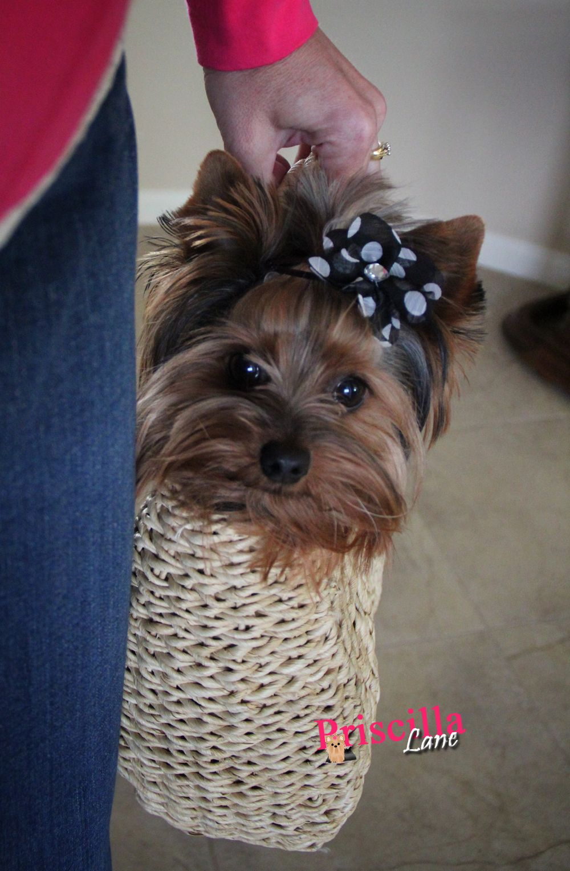 Priscilla Lane From Owned By Yorkies Https Www Facebook Com Ownedbyyorkies Yorkie Terrier Yorkie Moms Yorkie Dogs