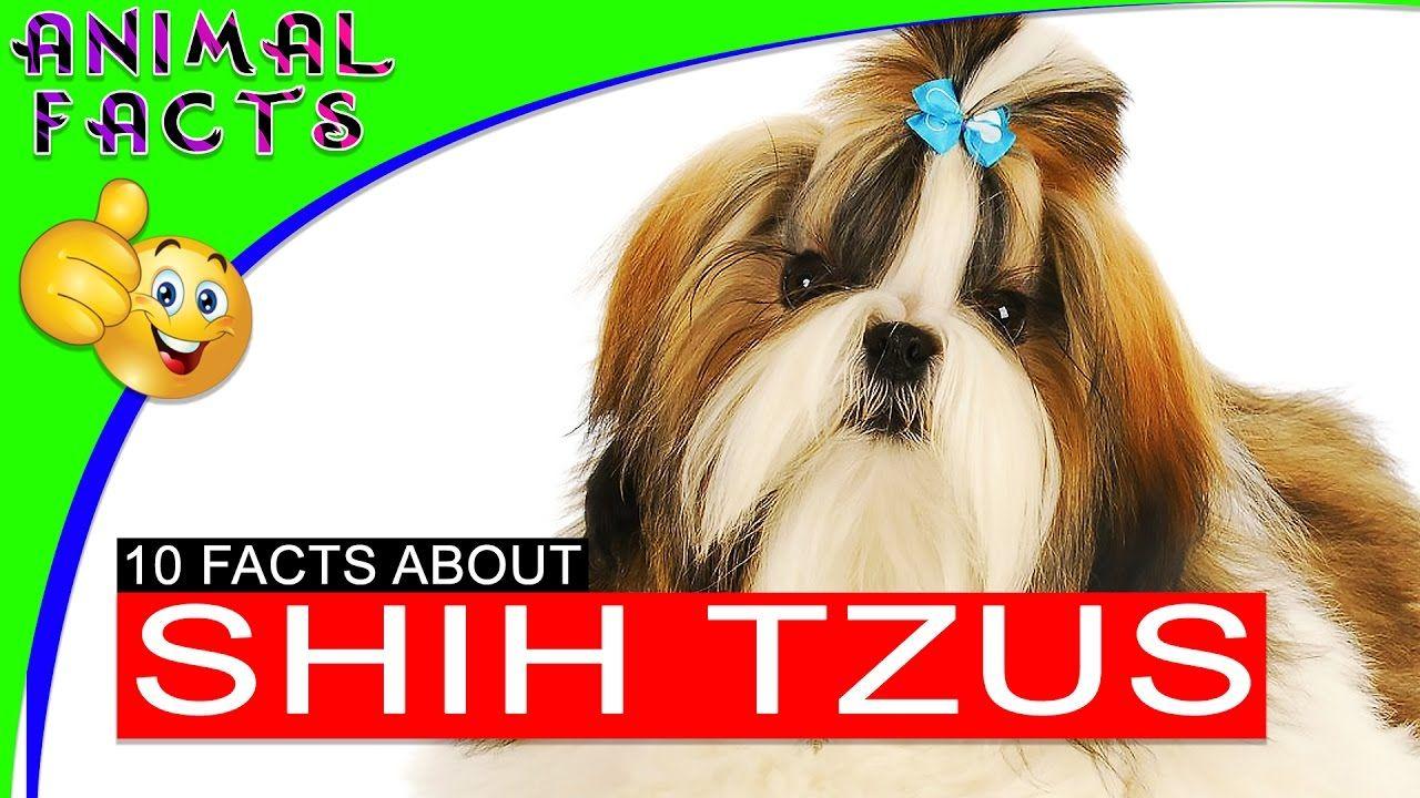 Shih Tzu Dog Fun Facts And History 101 Animal Facts Shih Tzu
