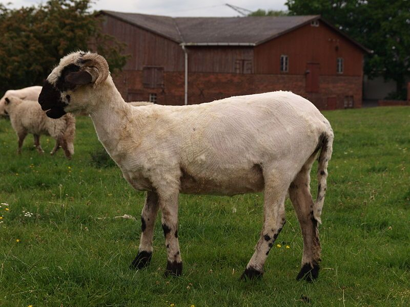 I keep returning to my sheep and rams because the subject is so rich in linguistic wool. Last time (see the post for 11 October 2017), I looked at the numerous etymological attacks on sheep and came to rather uninspiring results.