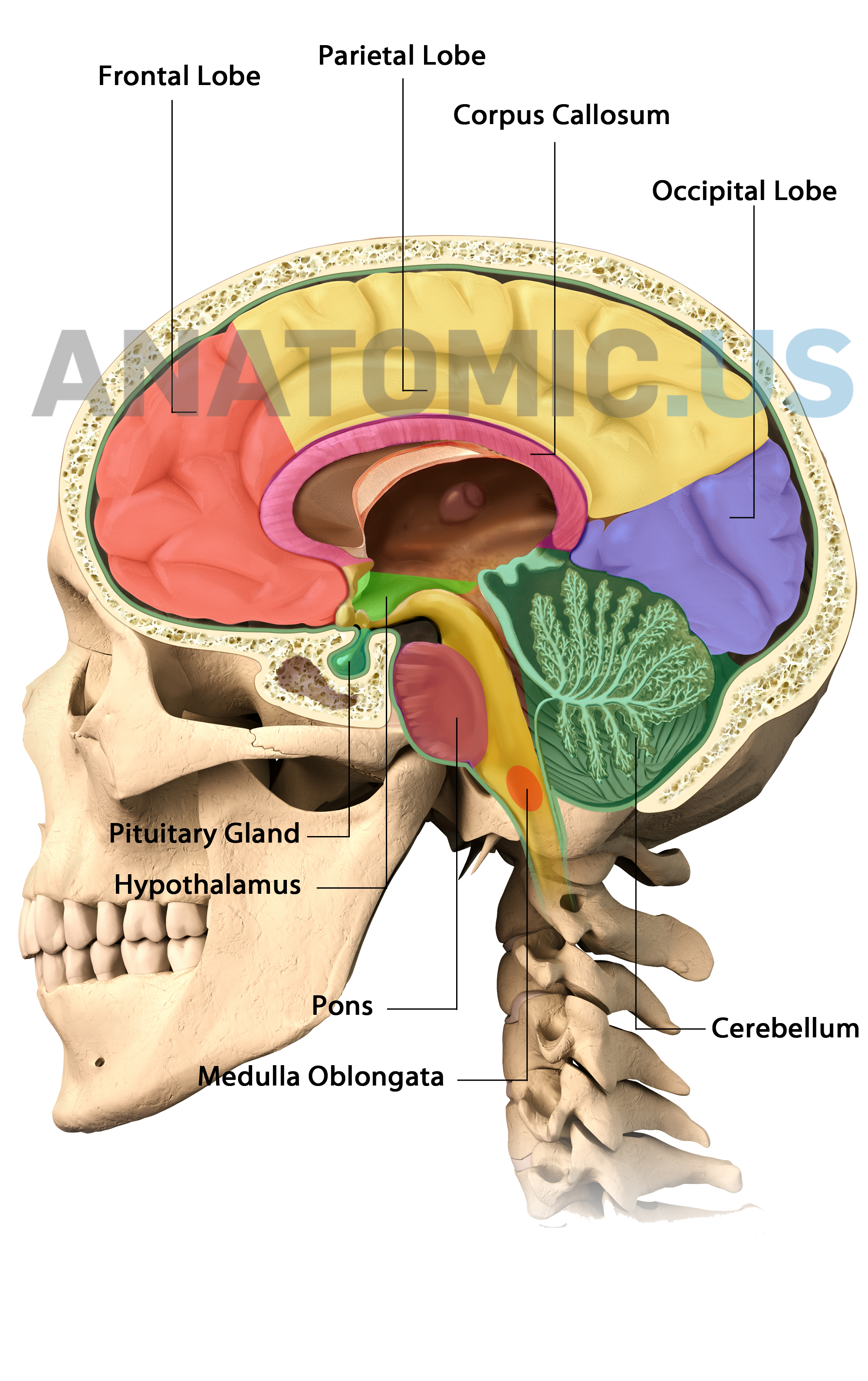 Brain Anatomy http://www.anatomic.us/atlas/brain/ #brain #anatomy ...