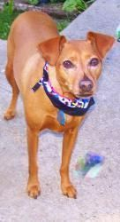 Nollie Is An Adoptable Miniature Pinscher Dog In Rochester Mn Nollie Is A 5 Year Old Female Red Min Pin She Is 20 Pound Miniature Pinscher Dog Dogs Pinscher