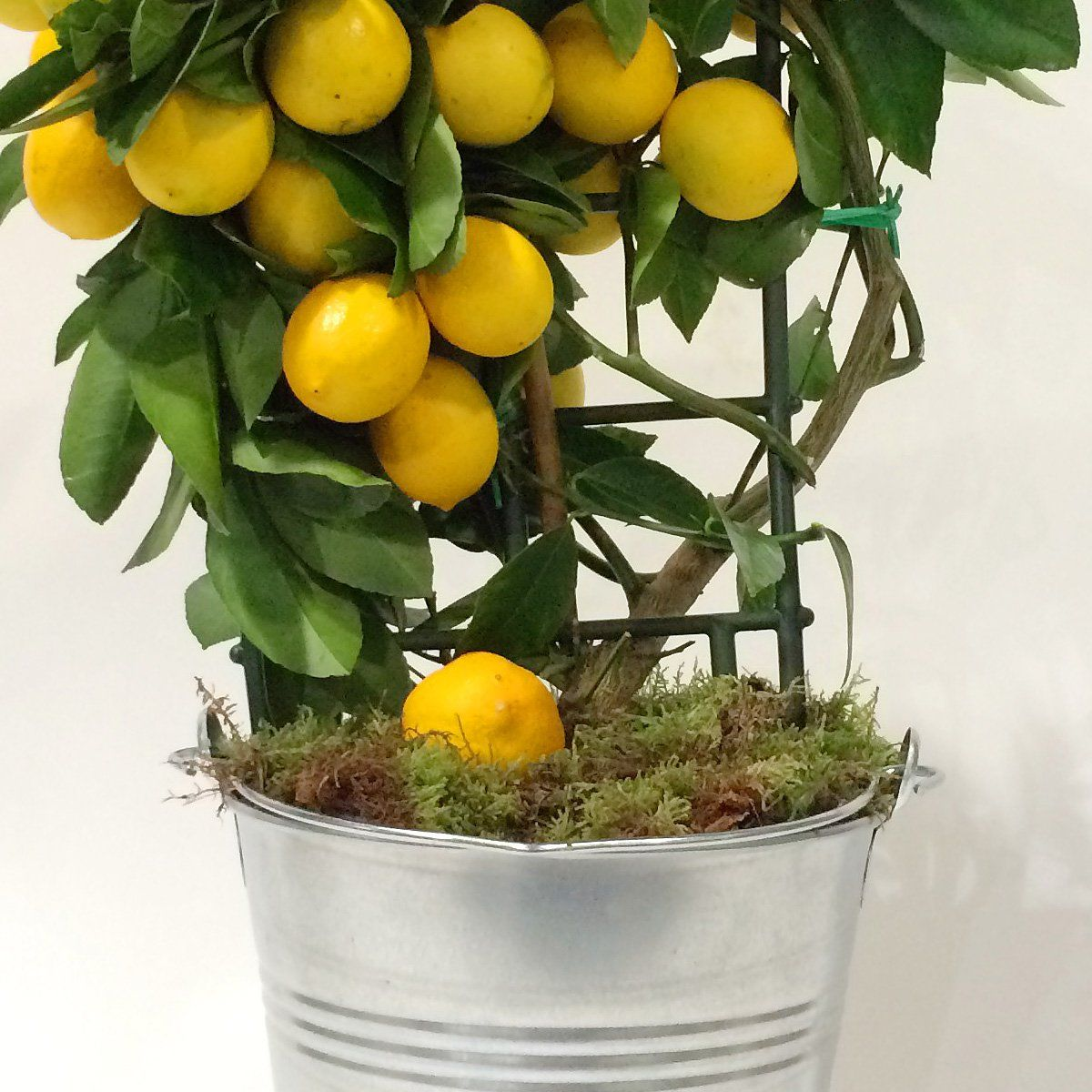 planter un citronnier cool ripe lemons hanging on a tree in greece with sun rays shining. Black Bedroom Furniture Sets. Home Design Ideas