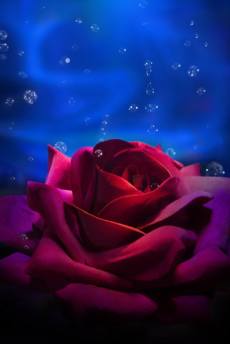 Hot Cold By Isidro Alonso 500px Blue Roses Wallpaper Beautiful Flowers Wallpapers Beautiful Rose Flowers