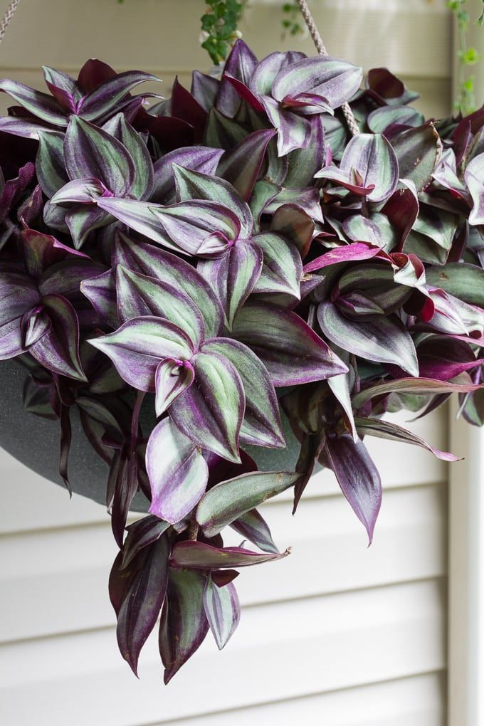 How to Care for a Wandering Jew Plant is part of Hanging plants, Plants, Wondering jew plant, House plants, Plant care, House plants indoor - Learn how to care for a wandering jew plant  The wandering jew plant is hardy and easy to care for  It will make the perfect addition to your collection!
