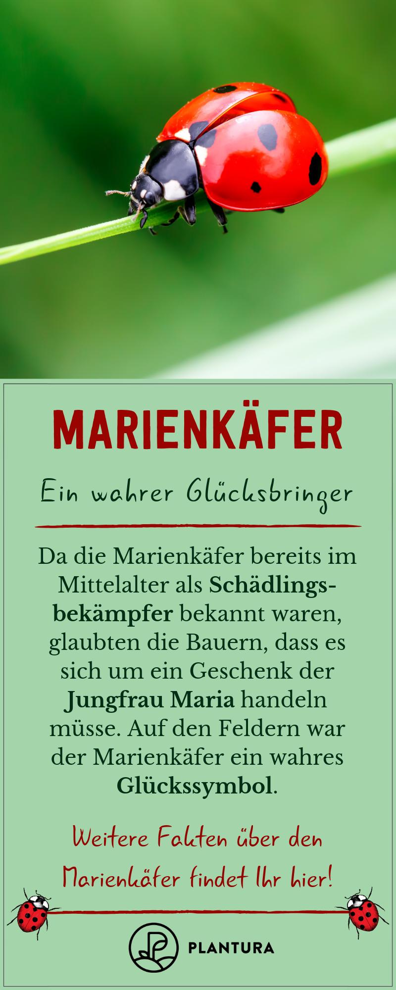 garten naturnah #garden #garten Marienkfer: Ein wahrer Glcksbringer! Der Marienkfer ist bereits seit dem Mittelalter als Schdlingsbekmpfer bekannt und gilt seitdem als Glcksbringer. Wir von Plantura verraten Euch hier weitere Fakten ber den gepunkteten Ntzling! #marienkfer #junikfer