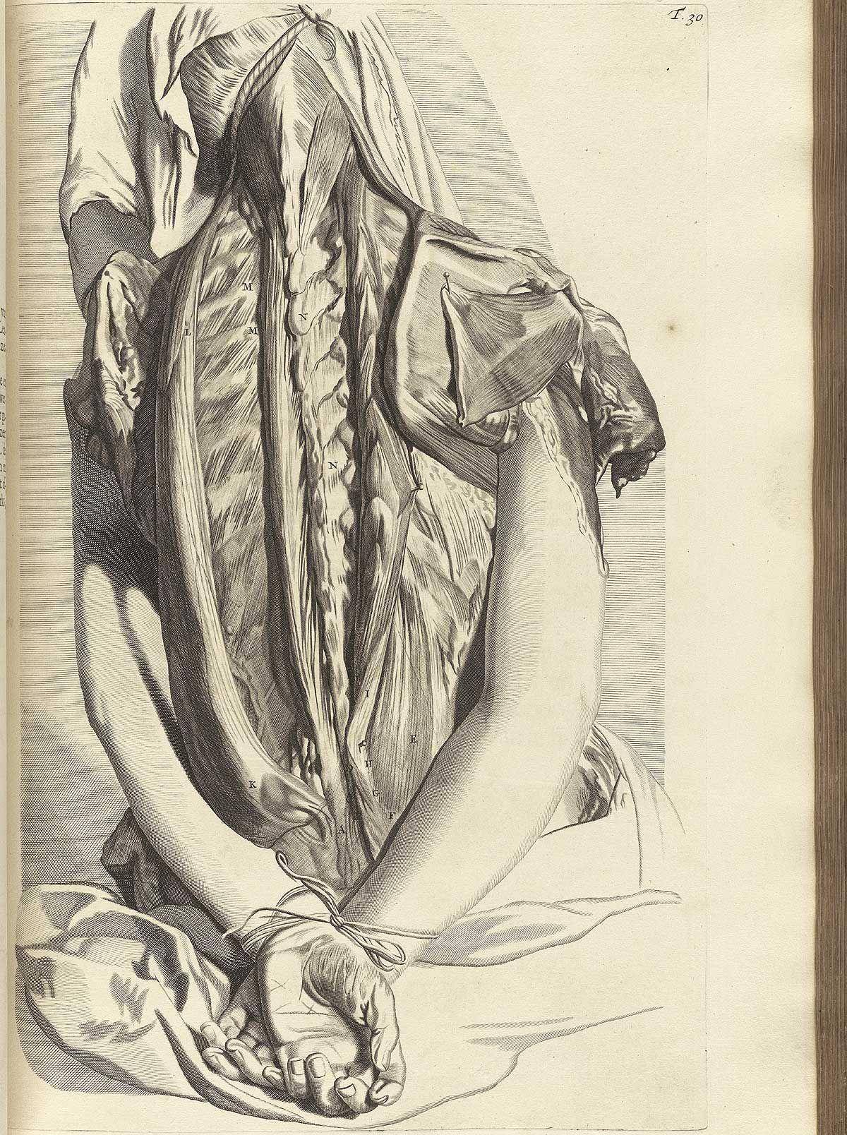 Govard Bidloo: Anatomia humani corporis