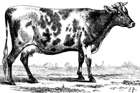 Vintage Black Cow Clipart Black And White Clipart Cow Vintage Cow Illustration Jersey Ayrshire Cow Illustration Clip Art Vintage Animals