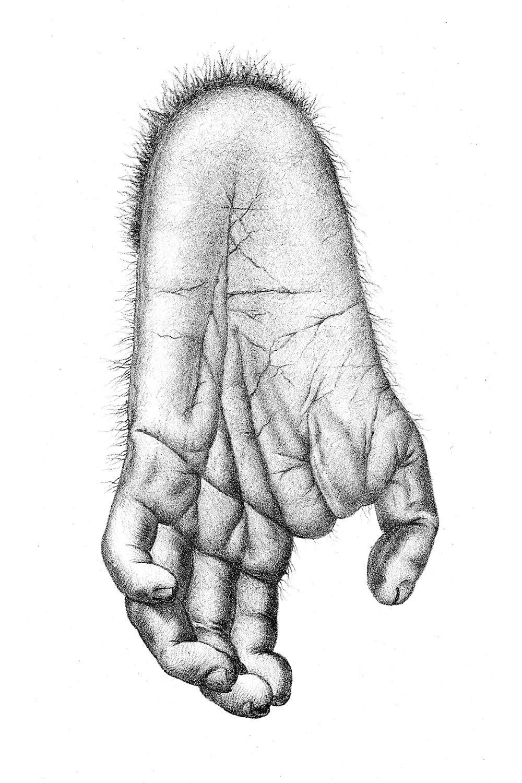 The foot of a chimpanzee | Gorila | Pinterest | Anatomía animal ...