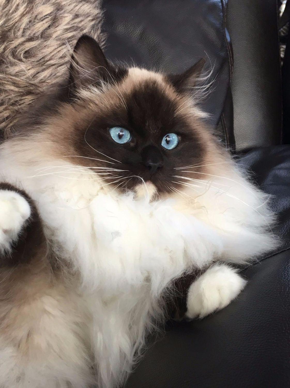 Leyla Ragdoll Cat Beautiful Ragdoll Cat Cute Cats Ragdoll Cat Breed