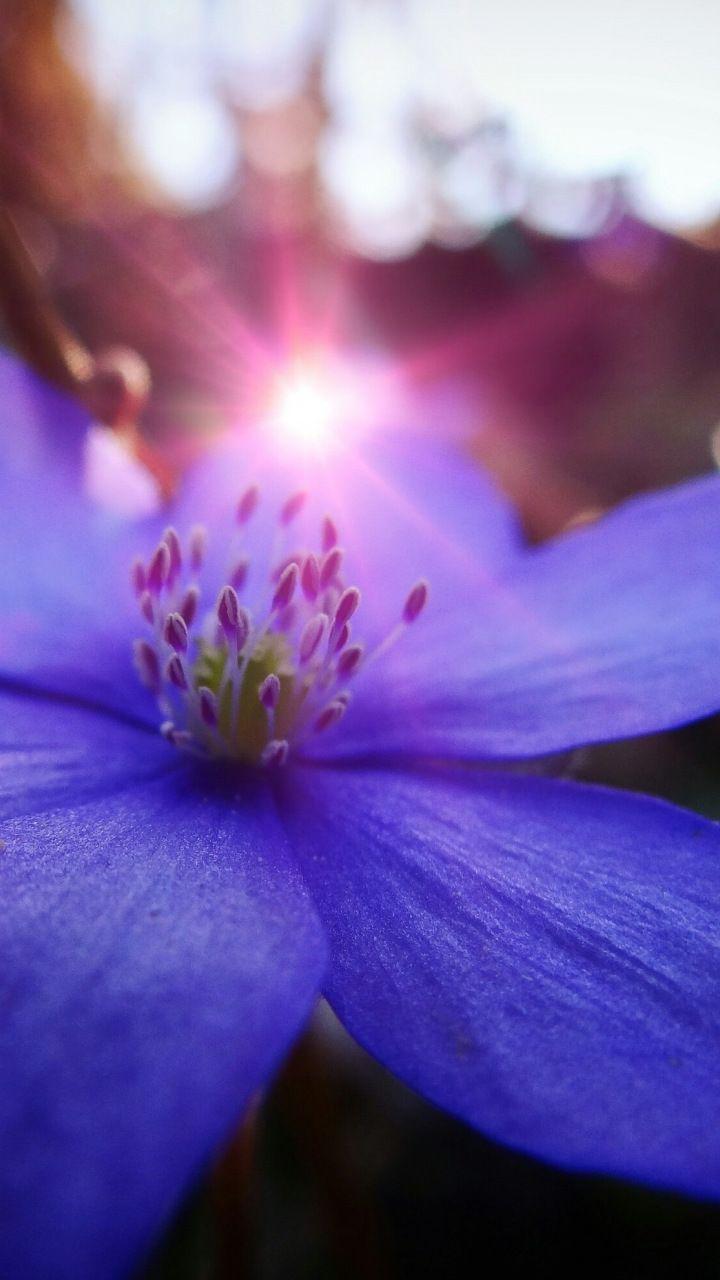 Close Up Blue Flower Sunbeams 720x1280 Wallpaper Blurred