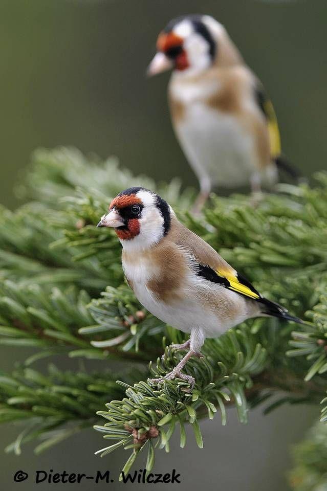 Amsel Common Blackbird Heimische Vogel Nagetiere Und Vogelkunde