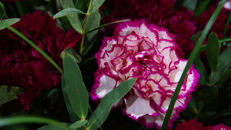 Offene Schnittblumen: Dianthus annus, die Sorte Golem eingebettet im Eukalypthus