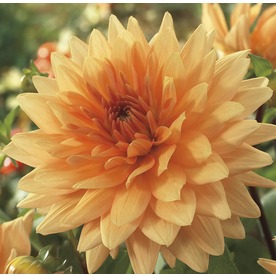 Dahlia At Lowes Com Search Results Growing Dahlias Plants Winter Plants