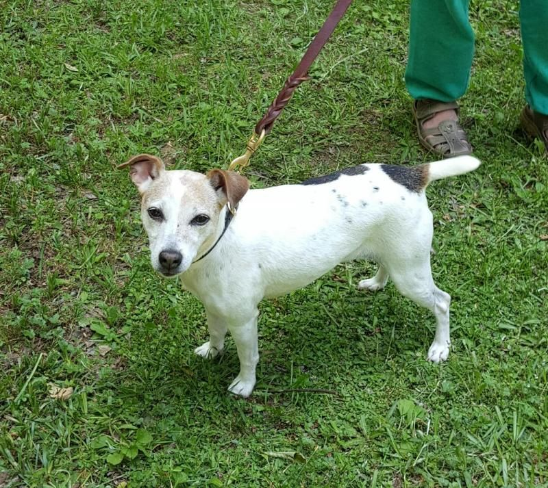 Adopt jessie on petfinder jack russell terrier jack