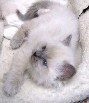 Blue Colorpoint Ragdoll Kitten Ragdoll Cat Ragdoll Cattery Cat Training