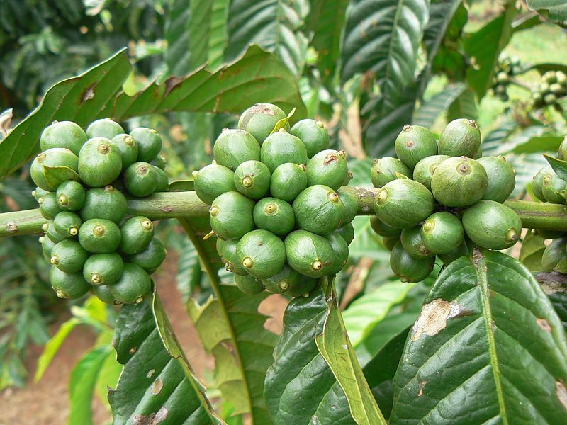 Green Coffee Extract Fat Loss