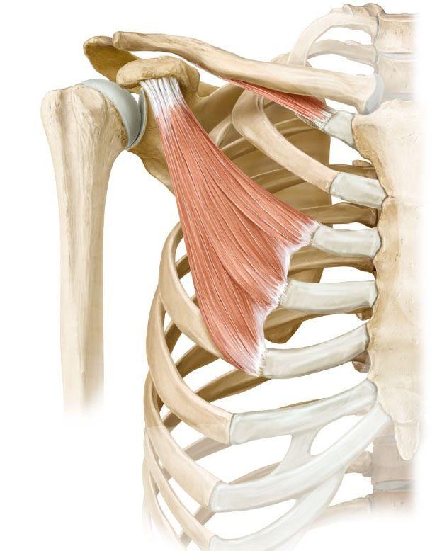 coracoid process pectoralis minor - Google Search | Sports medicine ...