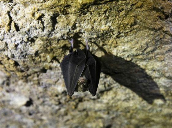 Cueva Palomera murcielago