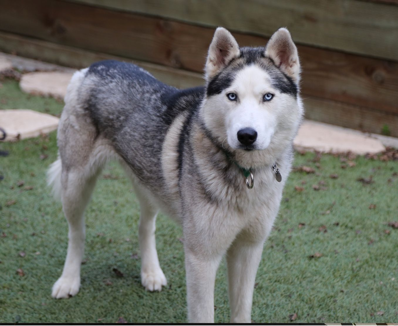 Siberian Husky Dog For Adoption In Campbell Ca Adn 454554 On