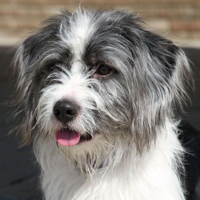 Looks So Much Like My Lola Ru Lhasa Apso Terrier Mix Rat