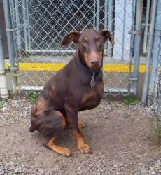 Adopt Chip Pending On Doberman Pinscher Cute Funny Dogs Doberman