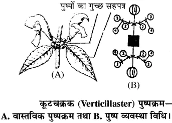 RBSE Solutions for Class 11 Biology Chapter 20 पुष्पक्रम #