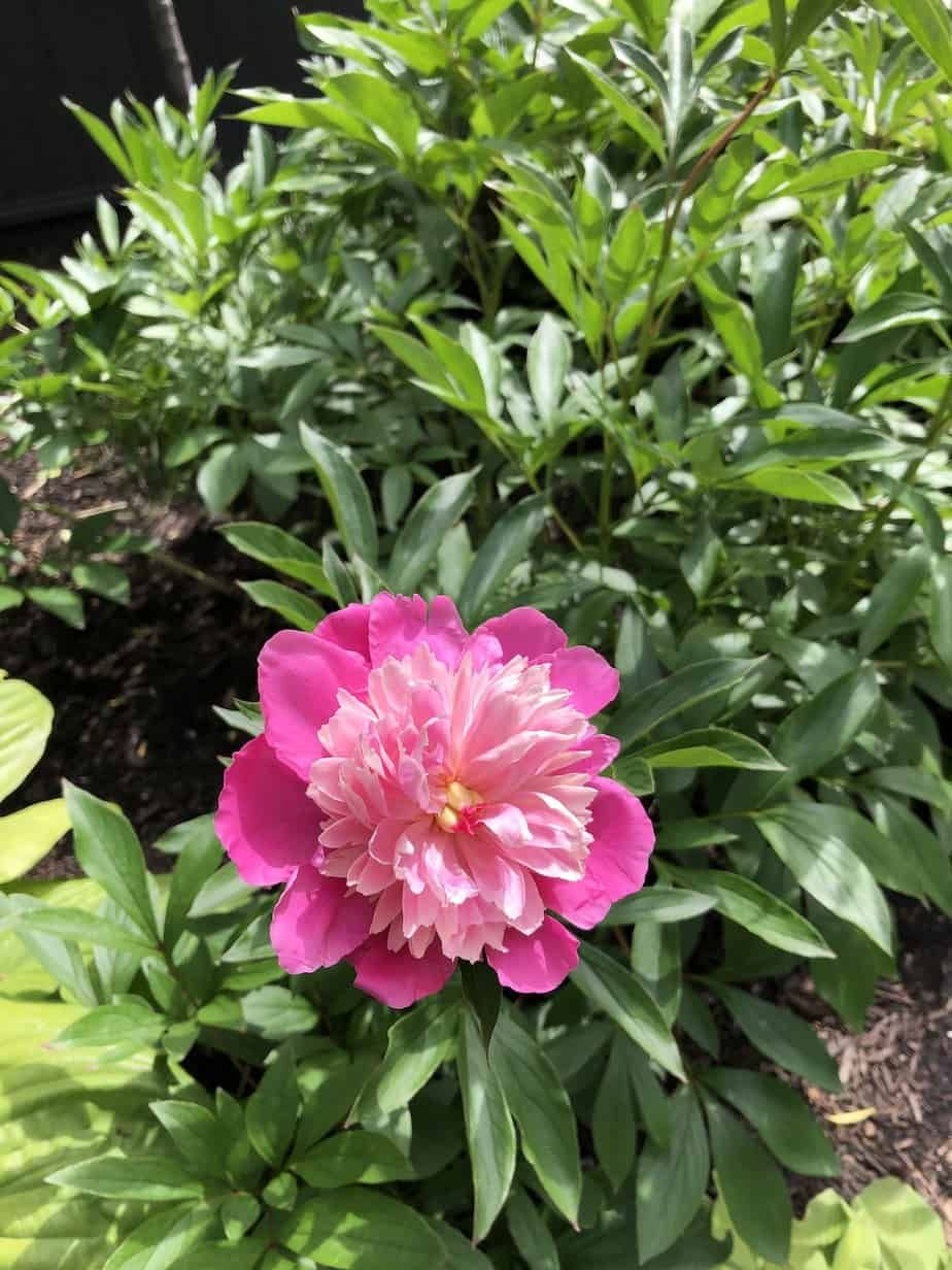Fertilizing Peonies When What And How To Feed Peony Plants In 2021 Planting Peonies Flower Fertilizer Peony Fertilizer